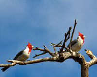 Brazilian cardinals Royalty Free Stock Image