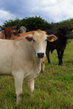 Brazilian cows on a pasture Stock Images
