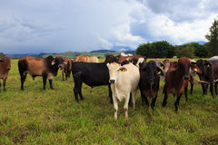 Brazilian cows on a pasture Royalty Free Stock Images