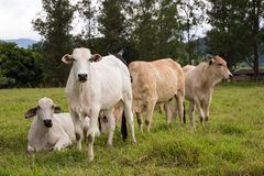 Brazilian cows on a pasture Stock Photo