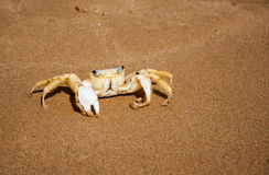 Brazilian crab on the beach in Buzios RJ Stock Photo