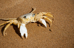 Brazilian crab on the beach in Buzios RJ Stock Image