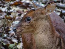 Brazilian Dwarf Brocket Deer Mazama nana, also known as Pygmy. Brocket Royalty Free Stock Images