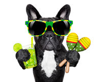 Brazilian french bulldog. With cocktail and shakers royalty free stock image