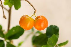 Beautiful fruit ready to be picked up royalty free stock images