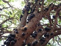 Brazilian grape tree, jaboticaba, jabotica, jabuticabeira, guaperu, guapuru, hivapuru, sabara or yvapuru royalty free stock photos