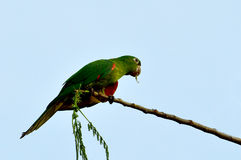 Brazilian green bird named Maritaca (Pionus). On a branch Royalty Free Stock Images