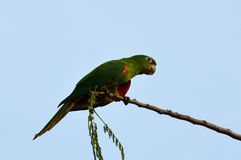 Brazilian green bird (Pionus) on a branch. Brazilian green bird named Maritaca (Pionus) on a branch Stock Images