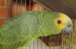 Brazilian green parrot Royalty Free Stock Photography