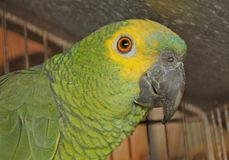 Brazilian green parrot Royalty Free Stock Images