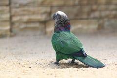 Brazilian hawk-headed parrot Royalty Free Stock Photos