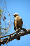 Brazilian hawk Royalty Free Stock Photography