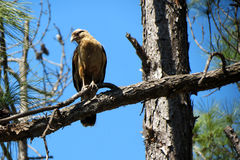 Brazilian hawk Royalty Free Stock Images