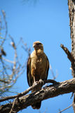 Brazilian hawk Royalty Free Stock Photos