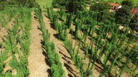 Brazilian Hop field plant growing on a Hop farm, plantation of hop. Fresh and Ripe Hops ready for harvesting. Beer production ingr. Edient stock video footage