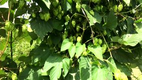 Brazilian Hop field plant growing on a Hop farm, plantation of hop. Fresh and Ripe Hops ready for harvesting. Beer production ingredient stock video