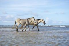 Brazilian Horses Walking on Beach in Nordeste Brazil Royalty Free Stock Images