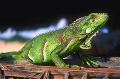 Brazilian Iguana. A bright green iguana in Brazil Stock Images
