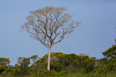 Brazilian Ipe Tree Rising above Jungle to Blue Skies Stock Images
