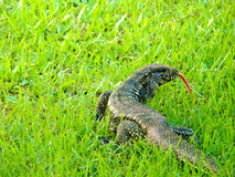 Brazilian lizard. On the grass stock photos