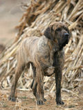 Brazilian mastiff Royalty Free Stock Photo