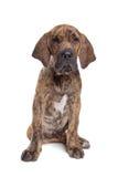 Brazilian Mastiff or Fila Brasileiro Stock Photos