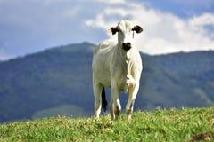 Brazilian meat, zebu breed growing in the fields Stock Image