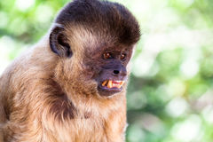 Brazilian monkey Stock Photo