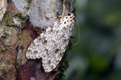 Brazilian moth sighted in remnant of Atlantic Rainforest. Brazilian moth on a tree trunk in remnant of the Atlantic Rainforest Stock Image