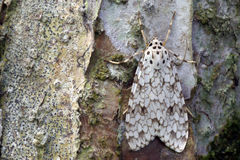 Brazilian moth sighted in remnant of Atlantic Rainforest. Brazilian moth on a tree trunk in remnant of the Atlantic Rainforest Stock Photo
