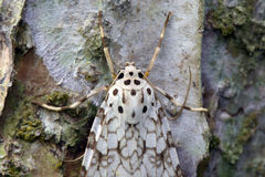 Brazilian moth sighted in remnant of Atlantic Rainforest. Brazilian moth on a tree trunk in remnant of the Atlantic Rainforest Stock Photos