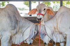 Brazilian Nelore elite cattle in a exposition park. Uberaba, Minas Gerais Royalty Free Stock Photo