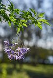 Brazilian nightshade(Solanum seaforthianum) hanging in bright sunlight. royalty free stock images