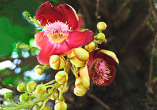 Brazilian nut flower Royalty Free Stock Photography