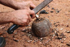 Brazilian Nuts. Botanically, brazil-nut tree belongs to the family of Lecythidaceae, in the genus: Bertholletia. Scientific name: Bertholletia excelsa Royalty Free Stock Photos