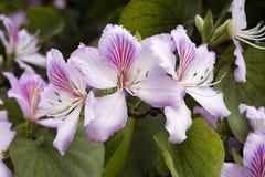 Brazilian orchid tree or pata-de-vaca Royalty Free Stock Photo