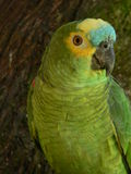 Brazilian parrot. Brazilian yellow and green parrot; Monte Verde Royalty Free Stock Photos