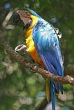 Brazilian parrot Royalty Free Stock Image