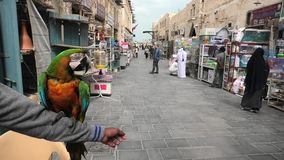 Brazilian parrot of Bird Souq. Doha, Qatar - February 19, 2019:A colorful brazilian parrot standing on an arm at Bird Souq inside Souq Waqif, the old market stock video