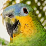 Brazilian parrot, green and yellow, with blurred background, bird`s head.  Royalty Free Stock Photos
