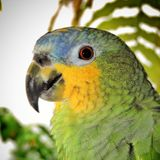 Brazilian parrot, green and yellow, with blurred background, bird`s head.  Royalty Free Stock Images