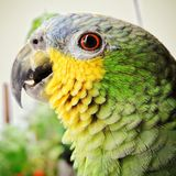 Brazilian parrot, green and yellow, with blurred background, bird`s head.  Royalty Free Stock Photography