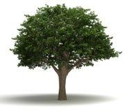 Brazilian Pepper Tree royalty free stock image
