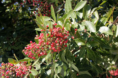 Brazilian peppertree, Schinus terebinthifolia. With thick pinnate compound leaves with up to 15 oval leaflets, slightly winged rachis, small creamish flowers Stock Photo