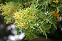 Brazilian peppertree, Schinus terebinthifolia. With thick pinnate compound leaves with up to 15 oval leaflets, slightly winged rachis, small creamish flowers Stock Image