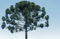 Brazilian pine or Candelabra tree Stock Photo