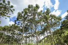 Brazilian pine forest with blue sky and clouds. Brazilian pine forest, tree symbol of the mountainous regions of Southern Brazil Stock Photo