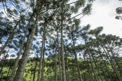 Brazilian pine forest with blue sky and clouds. Brazilian pine forest, tree symbol of the mountainous regions of Southern Brazil Stock Images