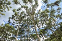 Brazilian pine forest with blue sky and clouds. Brazilian pine forest, tree symbol of the mountainous regions of Southern Brazil Royalty Free Stock Photos