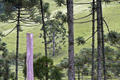 Brazilian pine forest. Tree symbol of the mountainous regions of Southern Brazil Stock Images